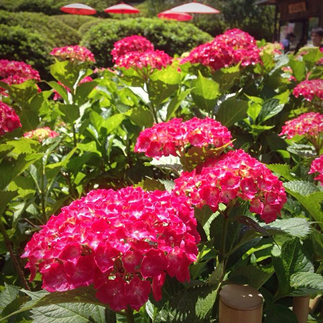 Kyoto Japan Mimurotoji Temple Hydrangea Flower Uji Today 京都 日本 三室戸寺 寺 紫陽花 花 宇治 今日