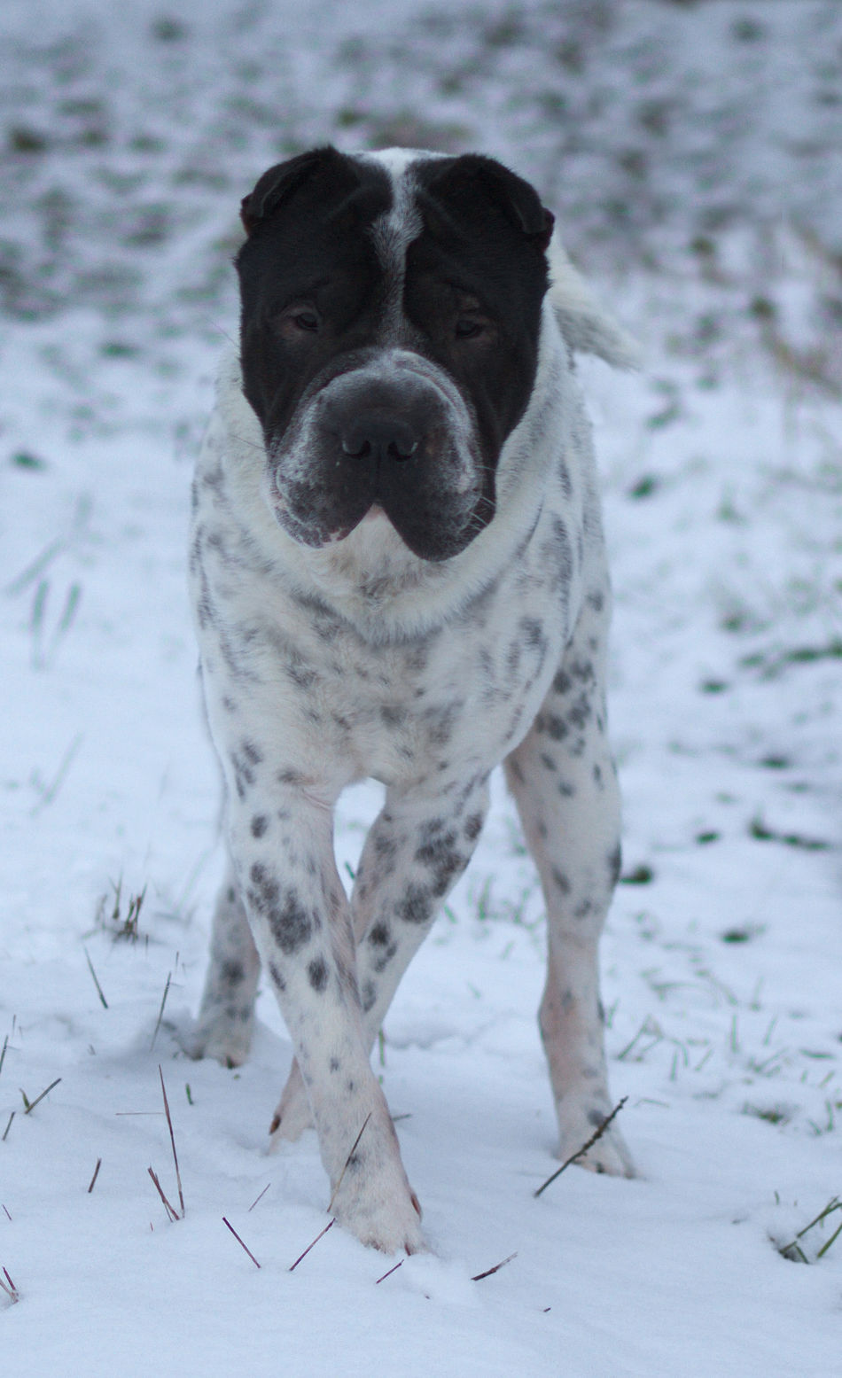 Looking At Camera Schnee Snow Dance Tanzen One Animal Pets Dog Animal Themes Outdoors Cold Temperature Winsen Celle Hundefotografie Hund Dog Photography Wolfsburg Braunschweig Hannover, Germany Domestic Animals No People