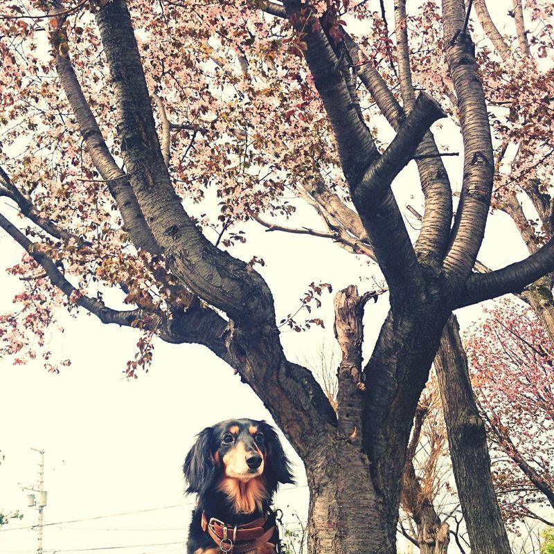サクラ 犬と桜 Ilovemydog Dogoftheday Dogslife ダックス