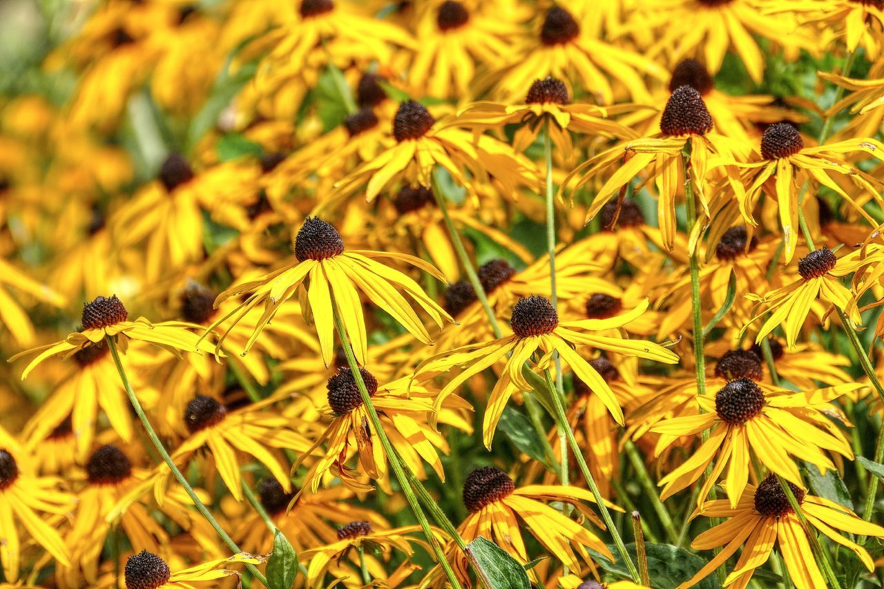 sea of yellow Black-Eyed Susan flower Beauty In Nature Black-eyed Susan Blooming Blooming Flowers Close Up Close-up Flower Flower Head Flower Stems Flowerhead Flowers Growth Nature No People Outdoors Plant Sea Of Flowers Yellow EyeEmNewHere