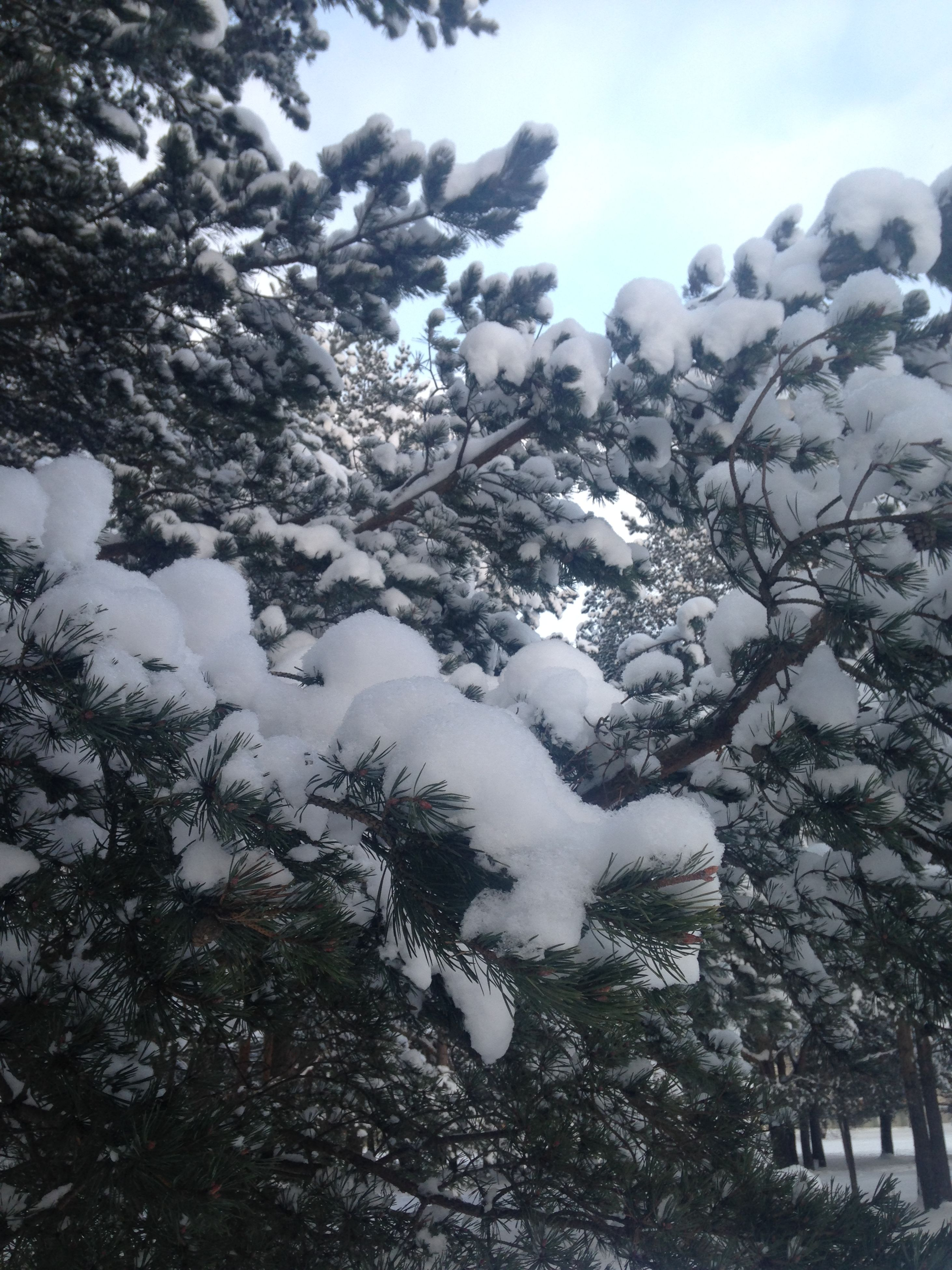 tree, low angle view, branch, growth, snow, white color, nature, beauty in nature, winter, season, cold temperature, sky, tranquility, day, outdoors, no people, weather, scenics, tranquil scene, white