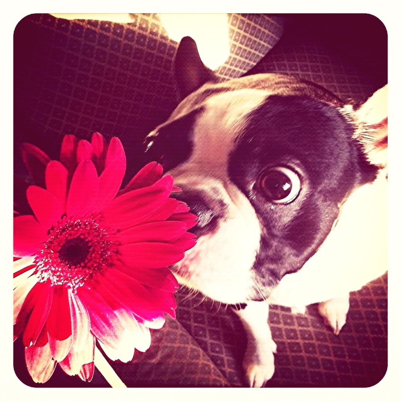 Boston Terrier, Cute, Pet, Best Friend