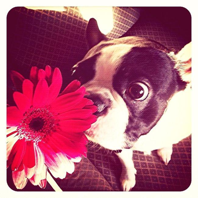 Boston Terrier, Cute, Pet, Best Friend