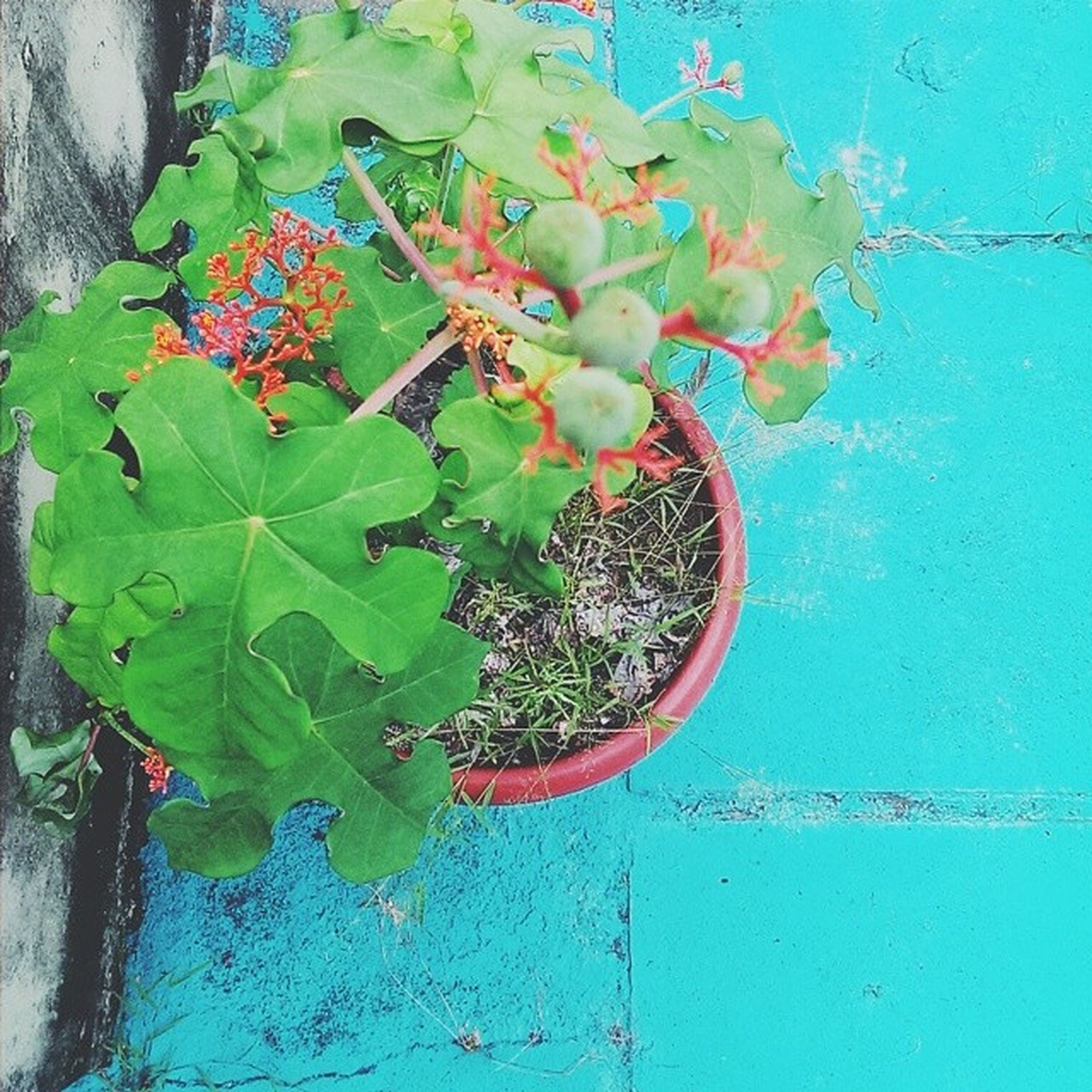 growth, flower, plant, wall - building feature, potted plant, leaf, blue, wall, fragility, close-up, green color, nature, day, built structure, growing, no people, freshness, flower pot, outdoors, architecture
