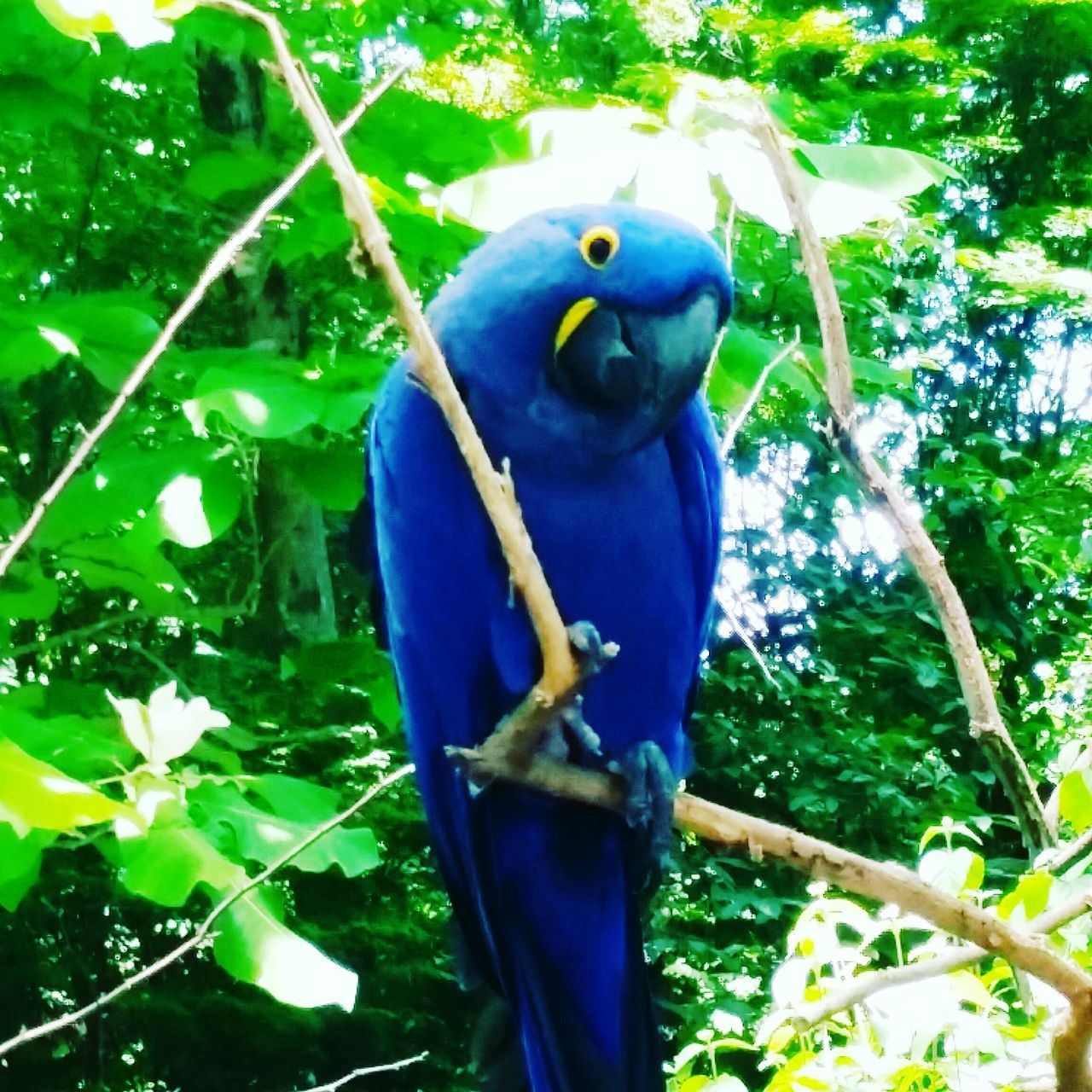 animal themes, parrot, animals in the wild, one animal, perching, bird, blue, no people, tree, animal wildlife, green color, outdoors, nature, day, leaf, gold and blue macaw, beauty in nature, macaw, close-up