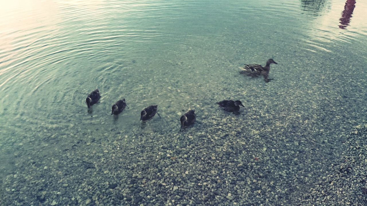 Beautiful stock photos of peace, Austria, Bird, Duck, Duckling
