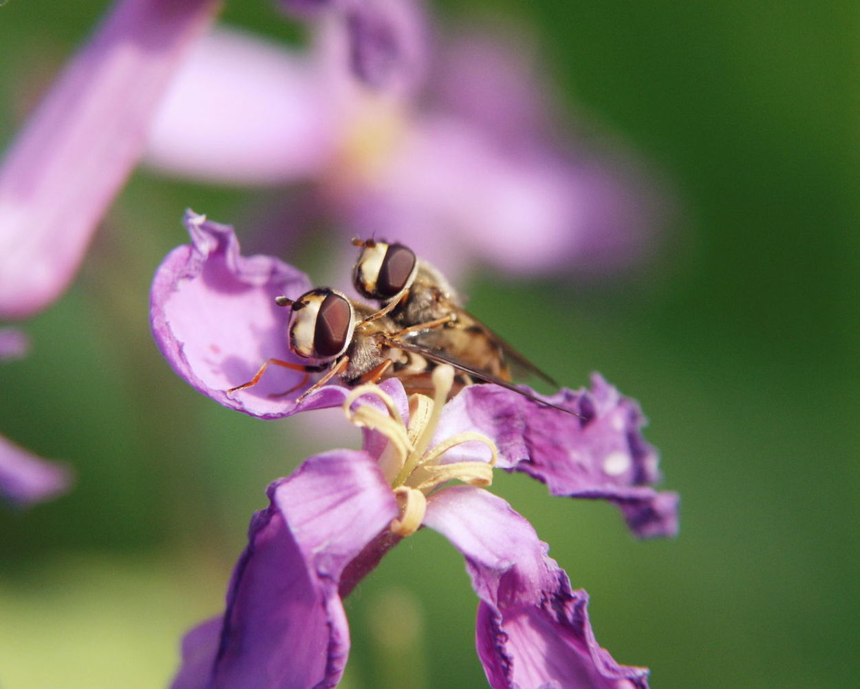 Eupeodes Bucculatus Flower Fly Hover Fly Insects  Nature Nature On Your Doorstep Orychophragmus Violaceus ショカツサイ ナミホシヒラタアブ