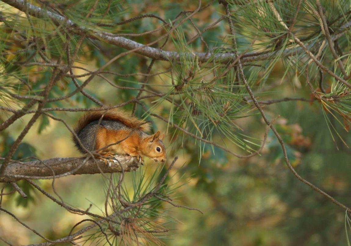 Squirrel Sony A77