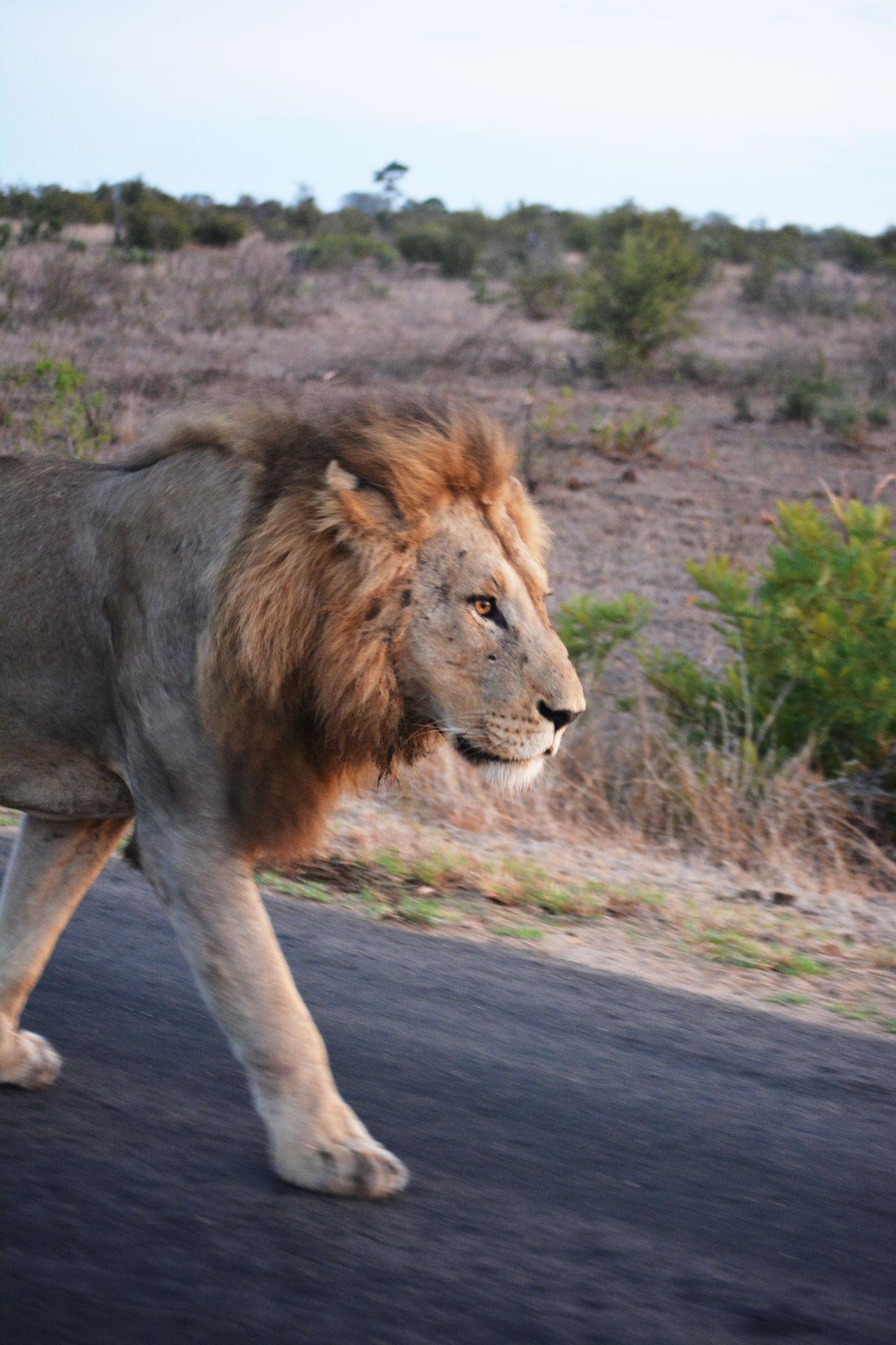 African Wildlife Big 5 Big Cat Big Cats Lion Lion - Feline Lions Wildlife Photography