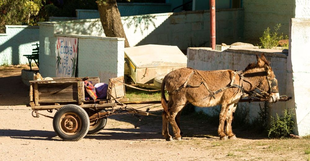 Domestic Animals Mammal Livestock Working Animal One Animal One Person Herbivorous Donkey Horse Horse Cart Horsedrawn Full Length Carriage Outdoors Pets Kid Goat Building Exterior Men Day