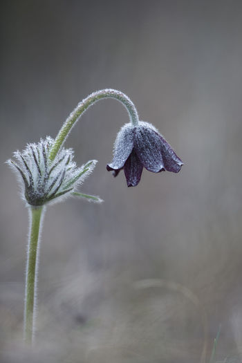 Black pasque flower / Pulsatilla pratensis subsp. nigricans [Canon EF 300mm f/2.8 L IS II USM]Beauty In Nature Close-up Flower Fragility Nature No People Outdoors Pasque Flower Plant Purple Purple Flower Spring Springtime