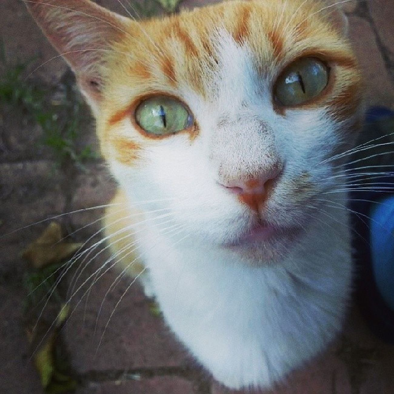 Cat Gatta Bellissima Occhiverdi eyes