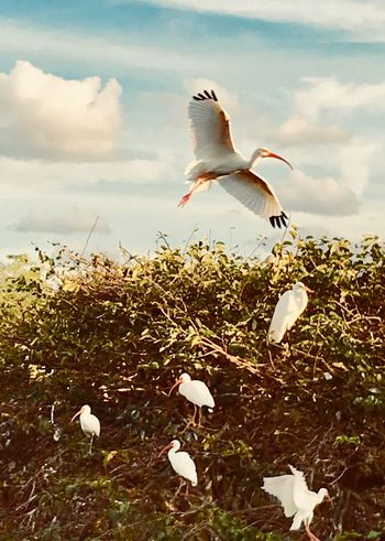 Flying high in Wetlands. Florida Soaring Flying High. Flying Bird Animal Themes Animals In The Wild One Animal Flying Animal Wildlife Cloud - Sky Mid-air Spread Wings Low Angle View Beauty In Nature Nature No People Sky Outdoors Day EyeEmNewHere EyeEm Ready