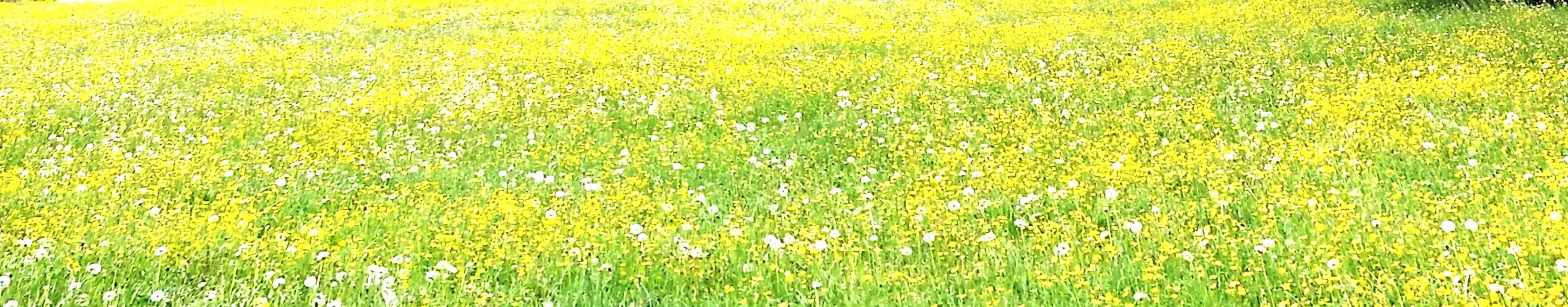 yellow, growth, field, flower, full frame, green color, grass, beauty in nature, nature, backgrounds, plant, freshness, agriculture, rural scene, tranquility, day, abundance, outdoors, no people, farm