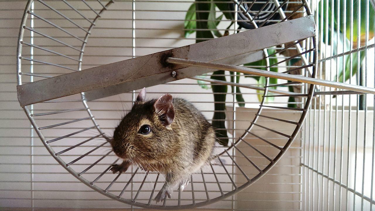 Pet Hamster Wheel Treadmill Degu Portrait