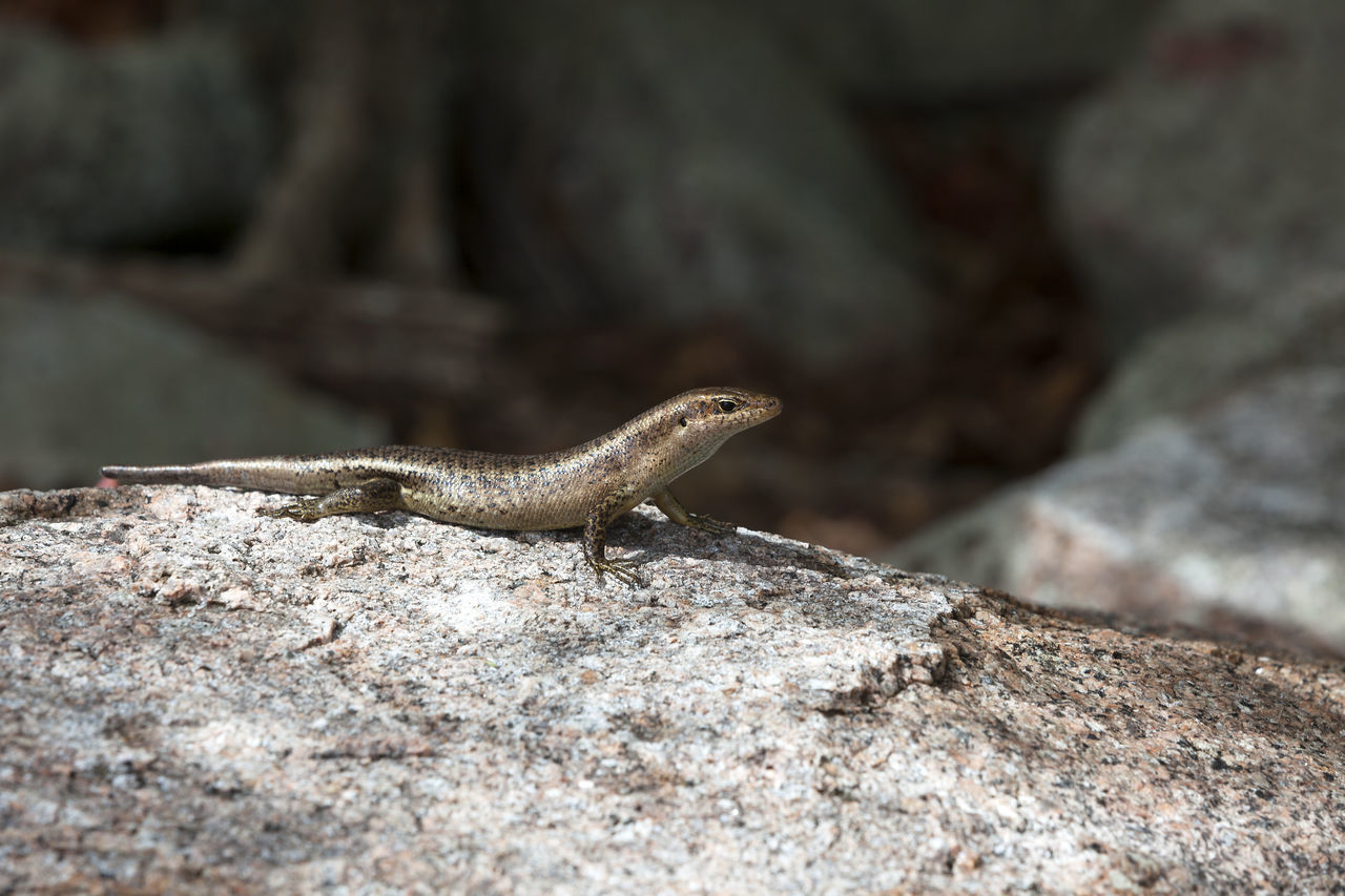 one animal, lizard, reptile, rock - object, animals in the wild, nature, animal themes, animal wildlife, no people, outdoors, day, close-up