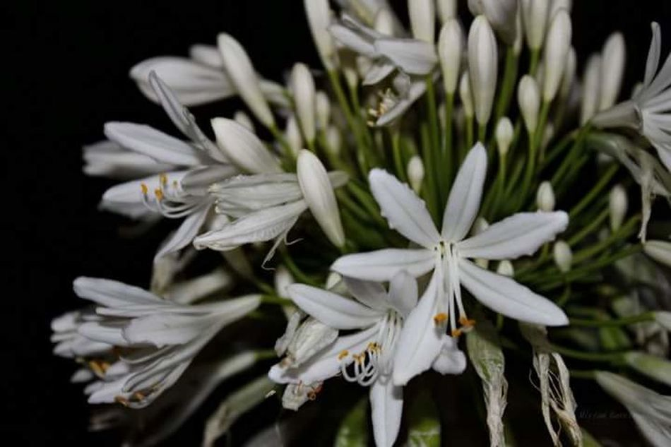 Agapanthus, the love flower. Flower Plant Nature Beauty In Nature Black Background Fragility Outdoors Agapanthus Details Of Nature White Flower
