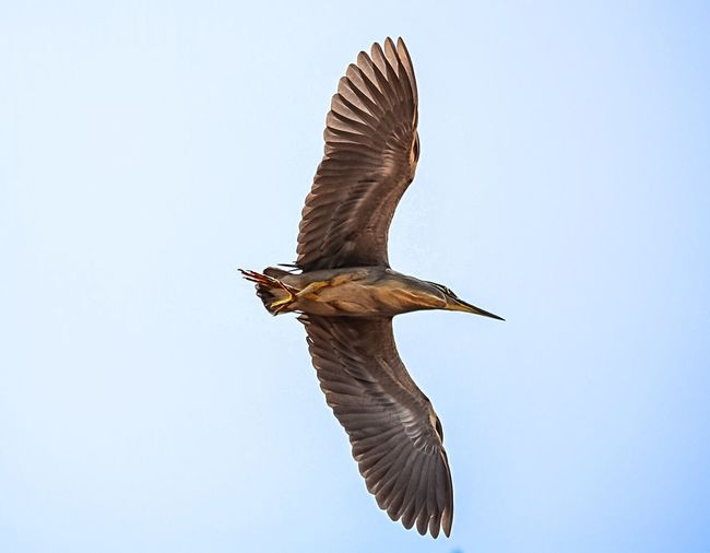 Animal Themes Animals In The Wild Bird Flying Spread Wings Wildlife One Animal Low Angle View Clear Sky Nature Zoology Flight Outdoors Beauty In Nature Blue Animal Wing Tranquility