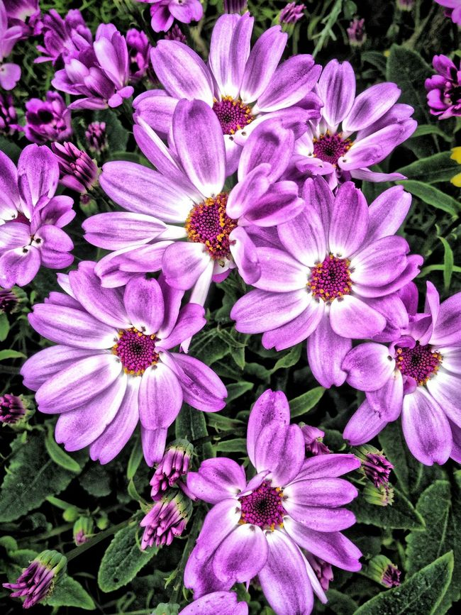 Cineraria flowers Beauty In Nature Blooming Botany Cineraria Close-up Flower Flower Head Flowers Freshness Growth In Bloom Nature Outdoors Petal Pink Color Plant Purple