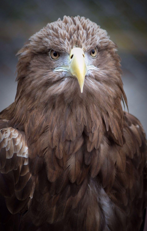 Beautiful stock photos of eagle, Anger, Animal Themes, Animals In The Wild, Beak