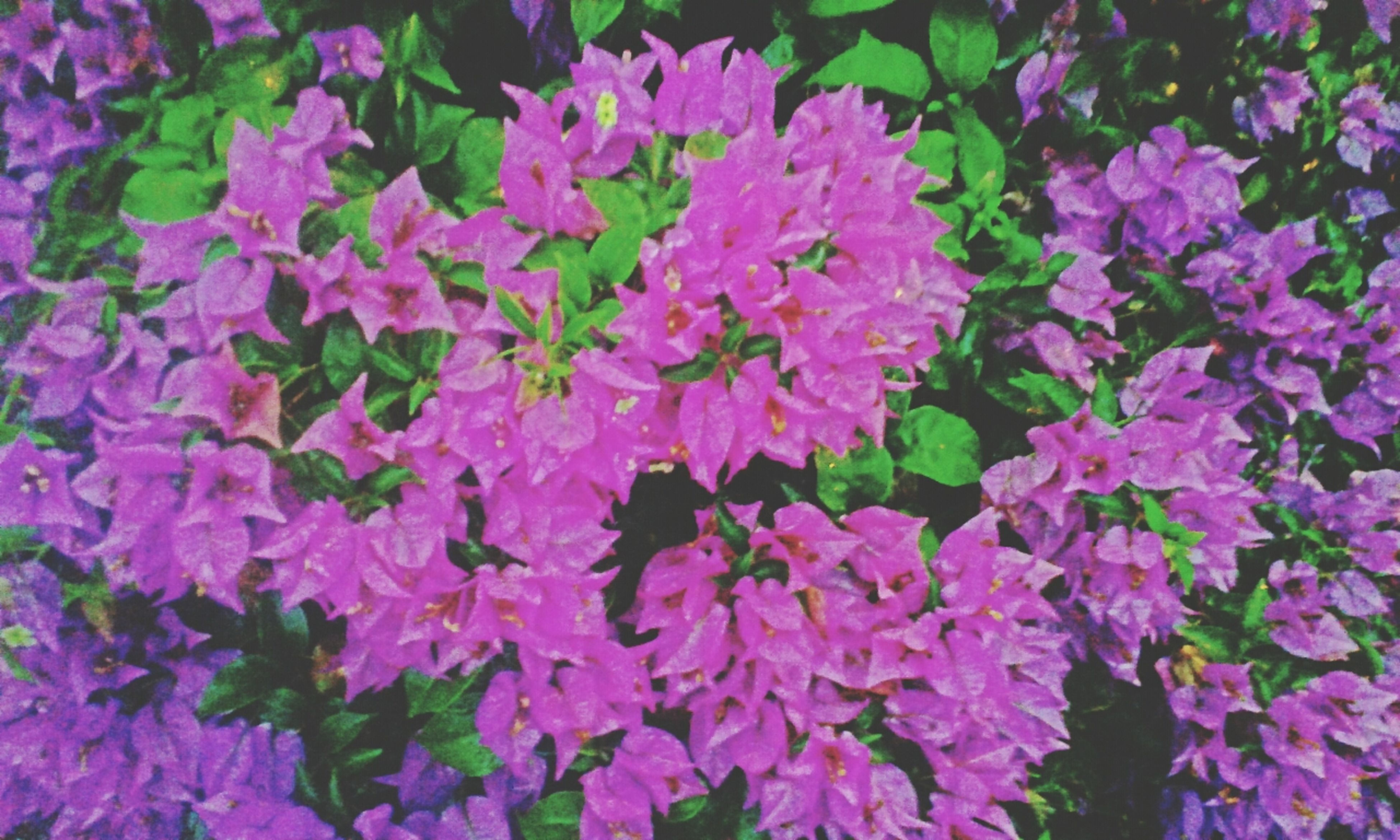 flower, freshness, petal, fragility, growth, beauty in nature, flower head, blooming, pink color, nature, plant, full frame, purple, high angle view, backgrounds, abundance, close-up, in bloom, park - man made space, outdoors