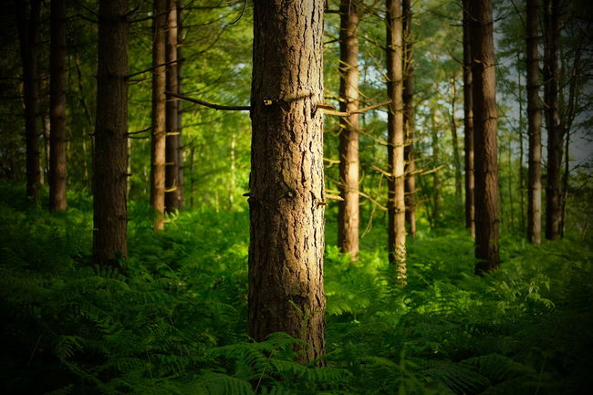 Beauty In Nature Conifers Forest Green Green Color Growth Idyllic Landscape Lush Foliage Nature Non-urban Scene Scenics Tiltshift Tiltshiftgen Tranquil Scene Tranquility Tree Tree Trunk Vignette WoodLand WoodLand