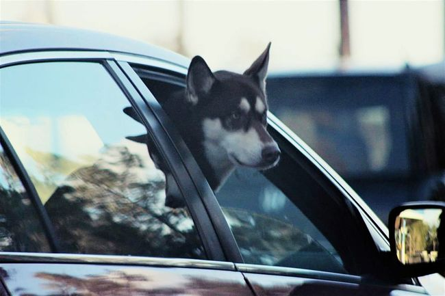 Another car dog 🐶🐶🐶 Car One Animal Transportation Window Close-up Day No People Domestic Animals Animal Themes Outdoors Mammal Eyemphotography Popular Photos Canonphotography Photos On The Street Petsofeyeem Pets In Cars Pets And Animals