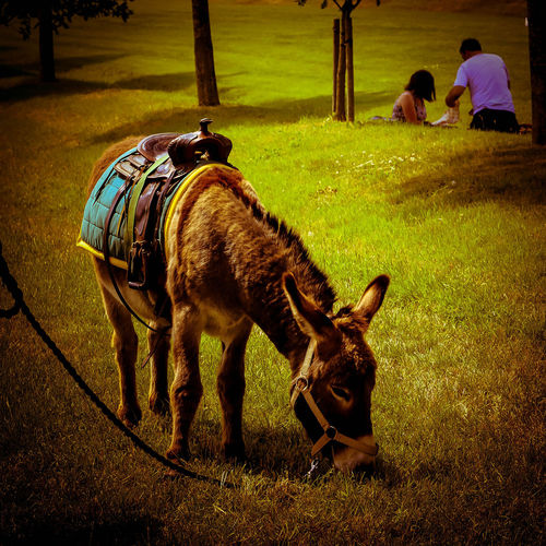Day Donkey Donkey In English Countryside Donkey In Field Donkey Tied U England English Field Golden Colours Grass Grassy Mammal Nature Outdoors S Warm
