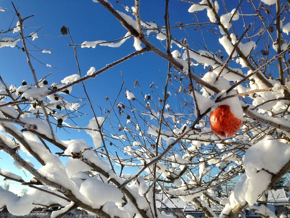 Beautiful stock photos of norway, Agriculture, Apple - Fruit, Apple Tree, Bare Tree