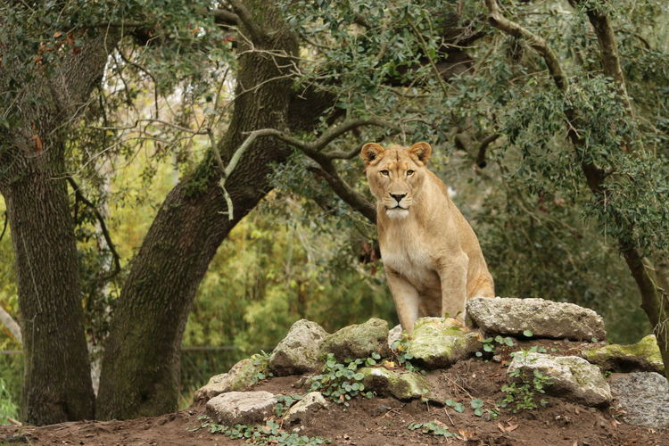 Lion - Feline Lioness Zoo Photography  Animals In The Wild Day Animal Themes Plant Animal Wildlife No People Nature