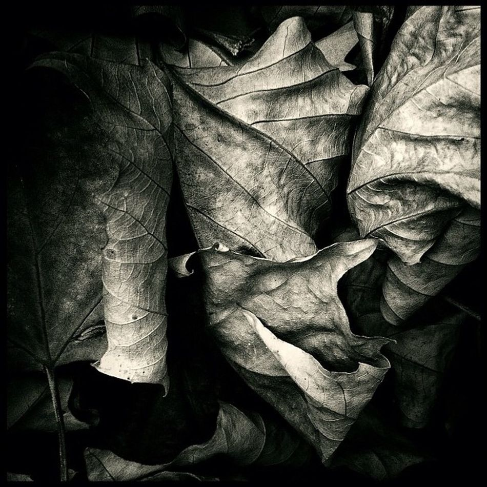 #leaf #leaves #iphoneographer #igers #iphoneology #instgood #iphoneography #instagramhub #instagram #jj #jj_forum #instgramers #photooftheday #bestoftheday #picoftheday #photography #pictureoftheday #instamood #instago #igers #photoparade #statigram #inst Bw Iphoneology Photoparade Photooftheday Instgramers Instagram Instgood Bnw Picoftheday Bwcontest Instamood Bestoftheday Igers Instago IPhoneography Jj  IPhoneographer Statigram Blackandwhite Instagramhub Leaf Instadaily Leaves Pictureoftheday Photography Jj_forum