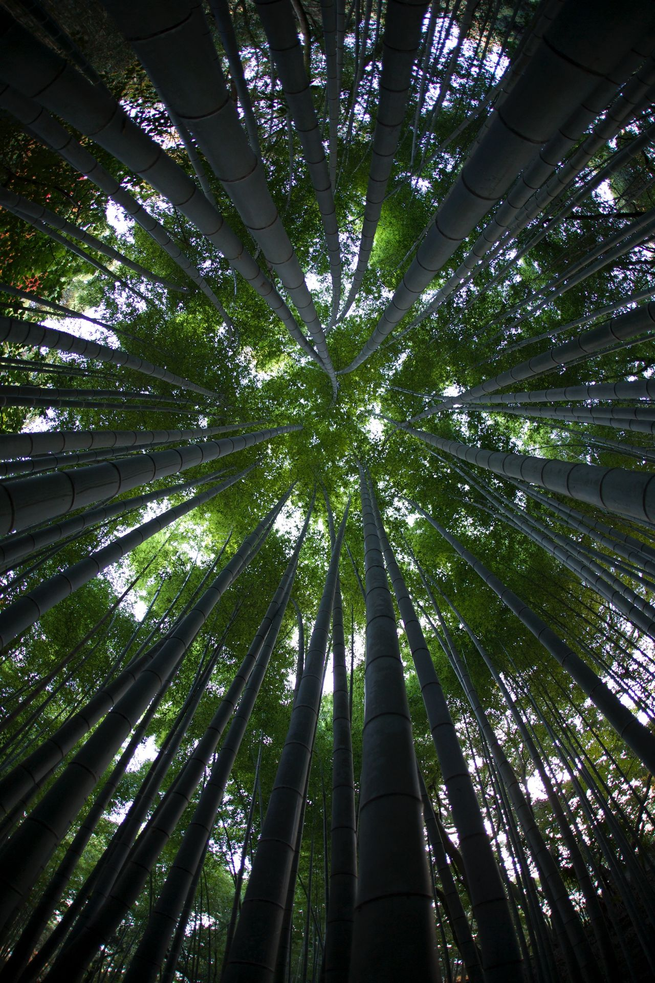Bamboo to the Sky Okayama,Japan Bamboo Bamboo Forest Songenji 岡山 日本 Sōgen-ji 崇元寺