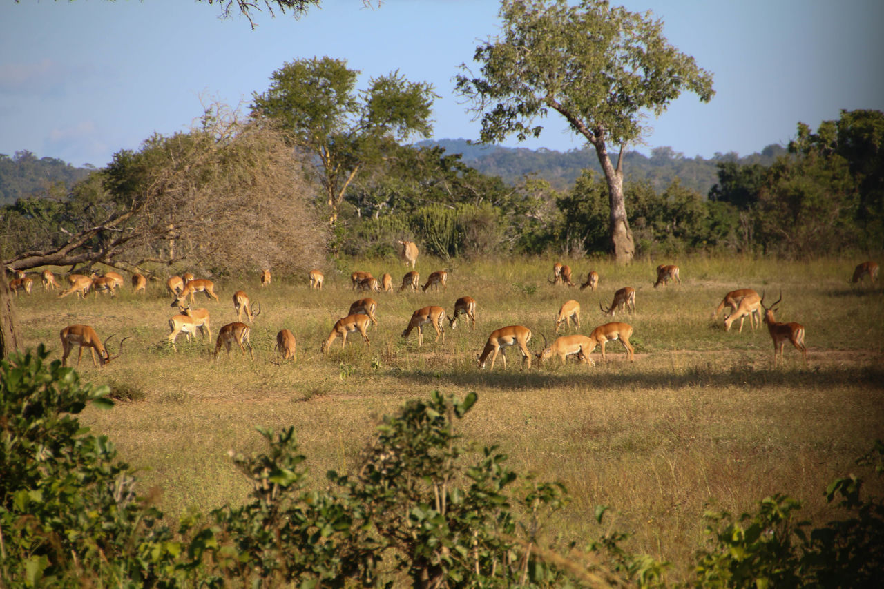 A large herd of Gazelles Animal Wildlife Animals In The Wild Antelope Antelopes Day Gazelle Gazelles Grant's Gazelle Grass Large Group Of Animals Mammal Nature No People Outdoors Sky Thompson's Gazelle Tree