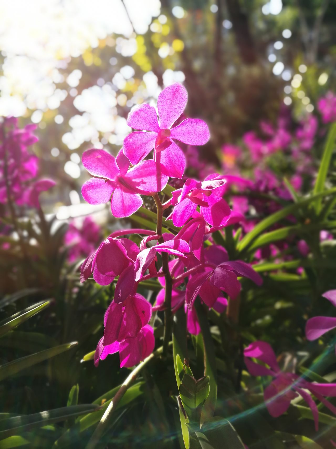 Purple orchids in morning garden light Flower Nature Growth Orchid Beauty In Nature Pink Color Purple Plant Petal Freshness Outdoors Day Exotic Exotic Flowers Garden Morning Light Thailand