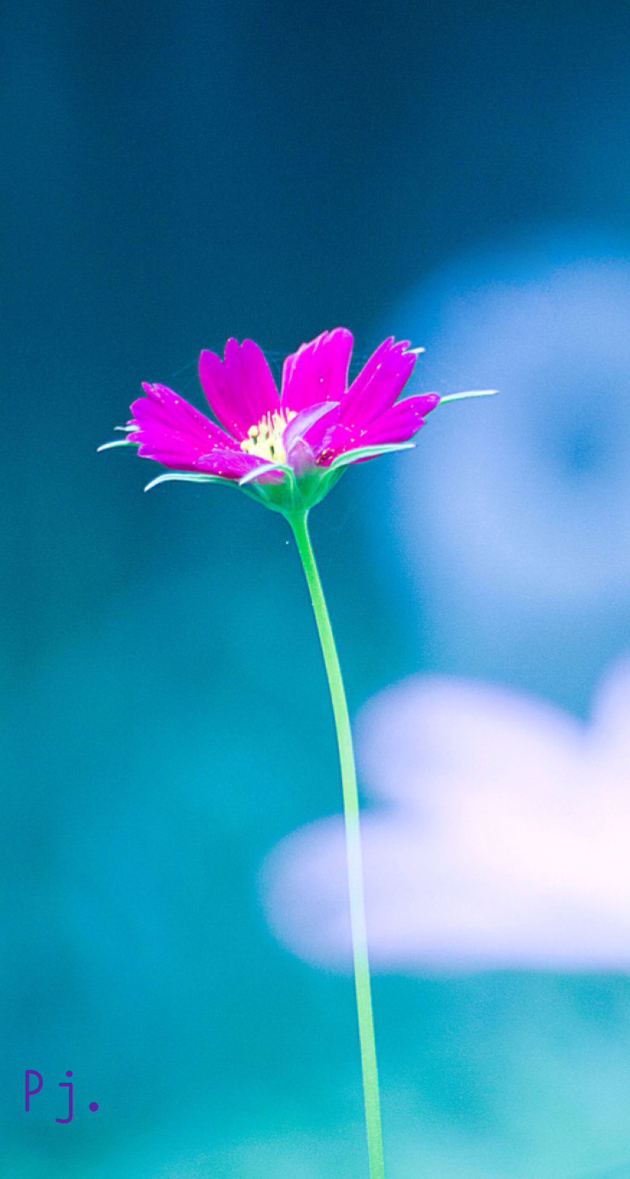 flower, freshness, fragility, petal, stem, flower head, beauty in nature, growth, nature, close-up, focus on foreground, bud, blooming, blossom, blue, pink color, plant, in bloom, selective focus, purple