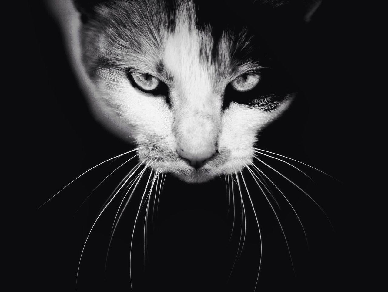 Beautiful stock photos of kitty, Animal Themes, Black Background, Cat, Close-Up
