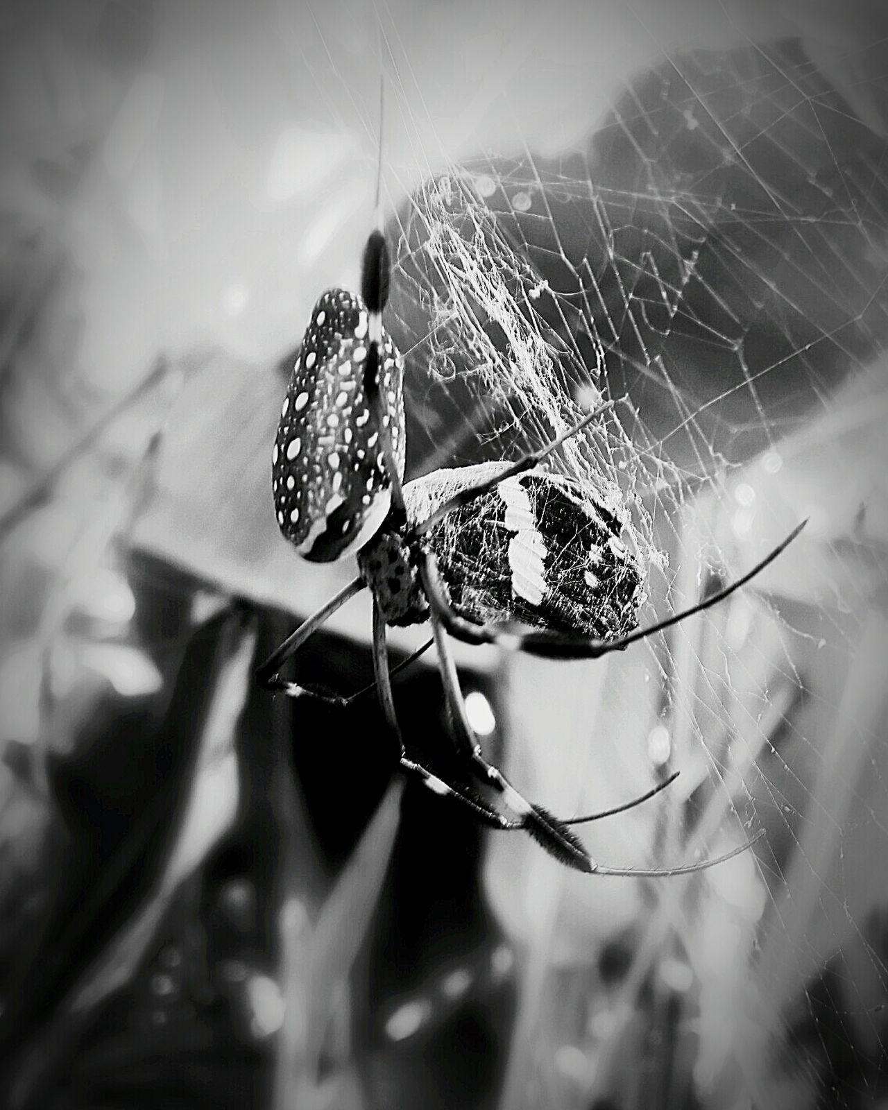 Death Spider Blackandwhite