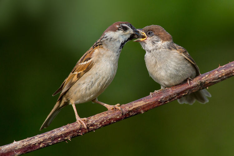 Tree sparrow feeding youngster Feldsperling Parent Feeding Fledgling Animal Themes Animal Wildlife Animals In The Wild Bird Day Eurasian Tree Sparrow Nature Outdoors Passer Montanus Tree Sparrow