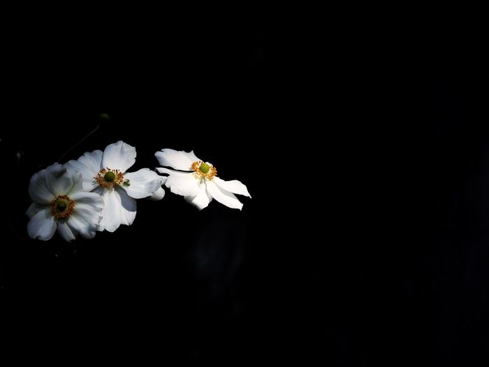 Flower Japanese Anemone White Black Spider 秋明菊 Black Background Nature White Color Eye4photography  One Day Plant Hokkaido,Japan