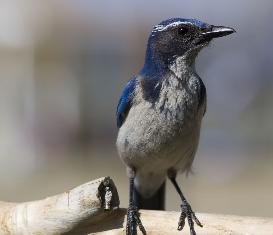 Animal Animal Head  Animal Themes Avian Beauty In Nature Bird Close-up Day Focus On Foreground Nature No People Outdoors Perching Selective Focus Western Scrub Jay