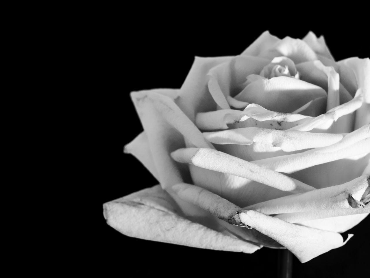 idmphotographer.com Beauty In Nature Black Background Blackandwhite Close-up Fine Art Flower Flower Head Fragility Freshness Indoor Nature No People Rose - Flower Studio Photography Studio Shot