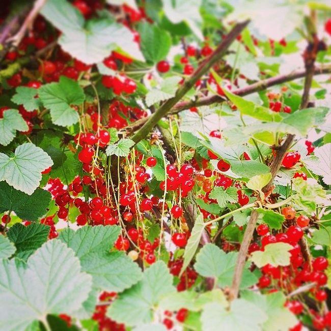 Noch mehr Obst Johannesbeeren satt. Früchtchen Elbe Selberflücken Instafrucht