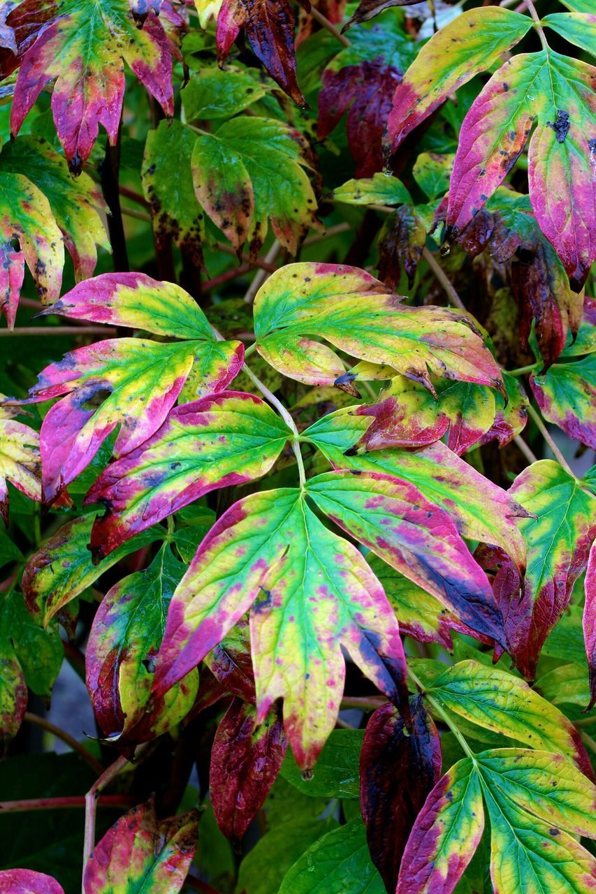 Close-Up Of Multi Colored Leaves Of Plant