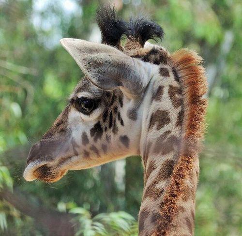 Giraffe Babygiraffe Close-up Focus On Foreground Babyanimals Patterns In Nature Patterns Animal Themes Herbivorous Zoology Mammal Outdoors New To EyeEm New Talent This Week Fresh On Eyeem  San Diego Zoo San Diego California San Diego Ca