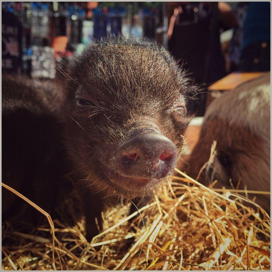 Hello World Cheese! Pig BabyPig Market Enjoying Life Nature Popular Photos Moments Rethinkyourlife