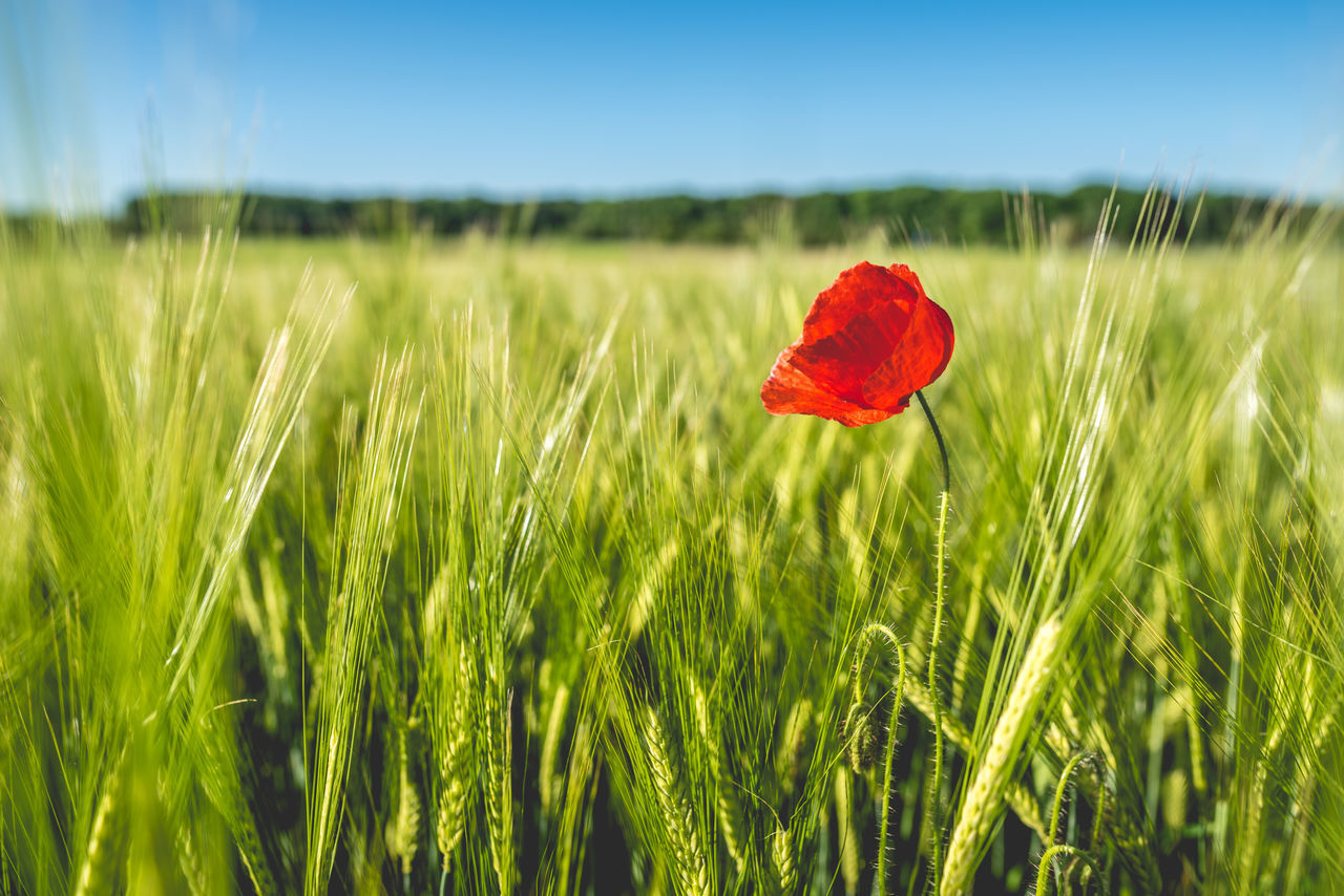 Agriculture Beauty In Nature Cereal Plant Close-up Day Field Flower Fragility Grass Green Green Color Green Color Growth Nature No People Outdoors Plant Poppy Red Red Rural Scene Selective Focus The Great Outdoors - 2017 EyeEm Awards Tranquil Scene Tranquility