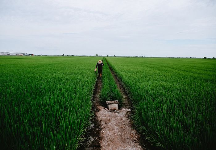 Paddy field Agriculture Farm Field Working Occupation Green Color Growth Farmer Sky Landscape Nature Beauty In Nature Cultures Malaysia Happiness About Life Outdoors Scenics wide Landscape_Collection Landscape_photography Landscapes Landscape #Nature #photography Landscape_captures