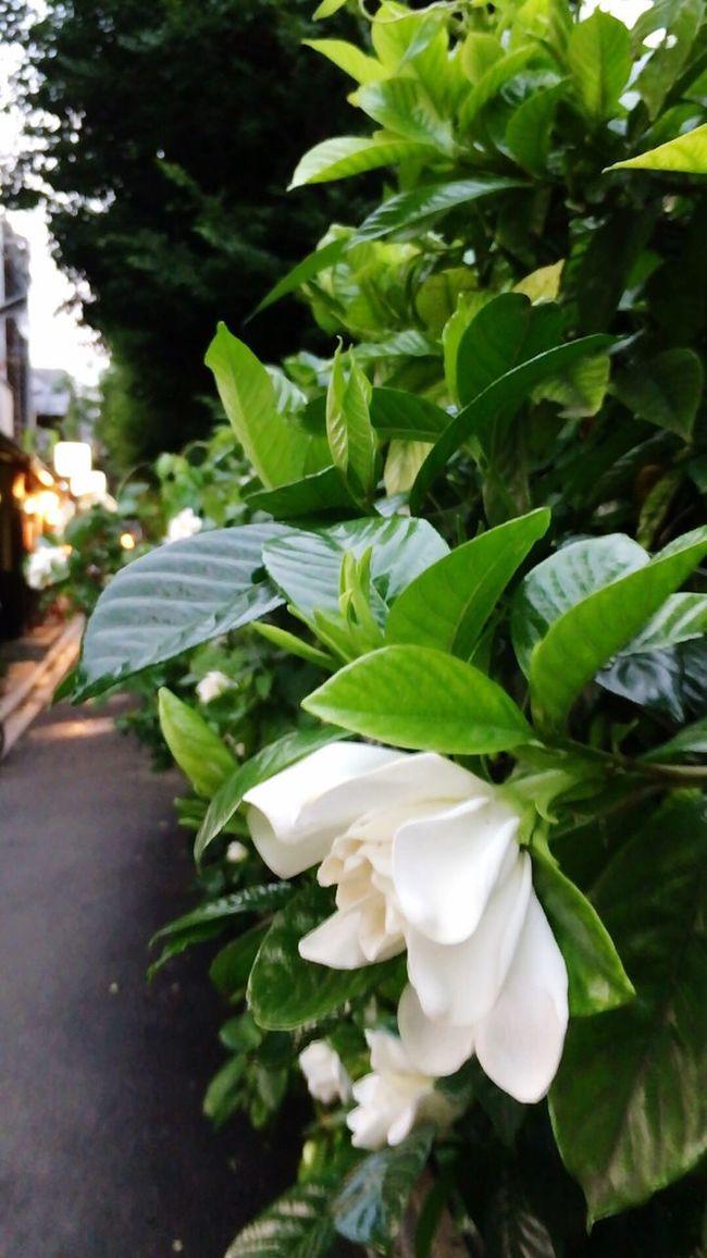 Kyoto,japan Gardenia Jasminoide Kyoto Gardenia Gardenia Gardenia Flower