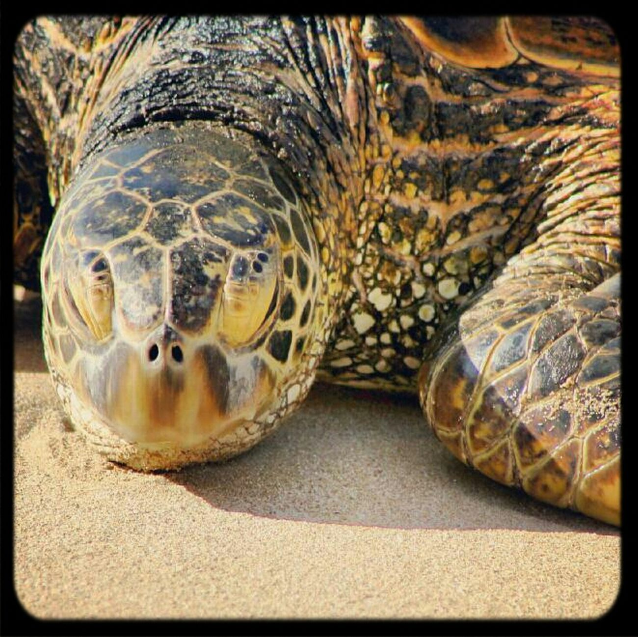 Turtles Sea Turtle Honolulu, Hawaii North Shore Honu