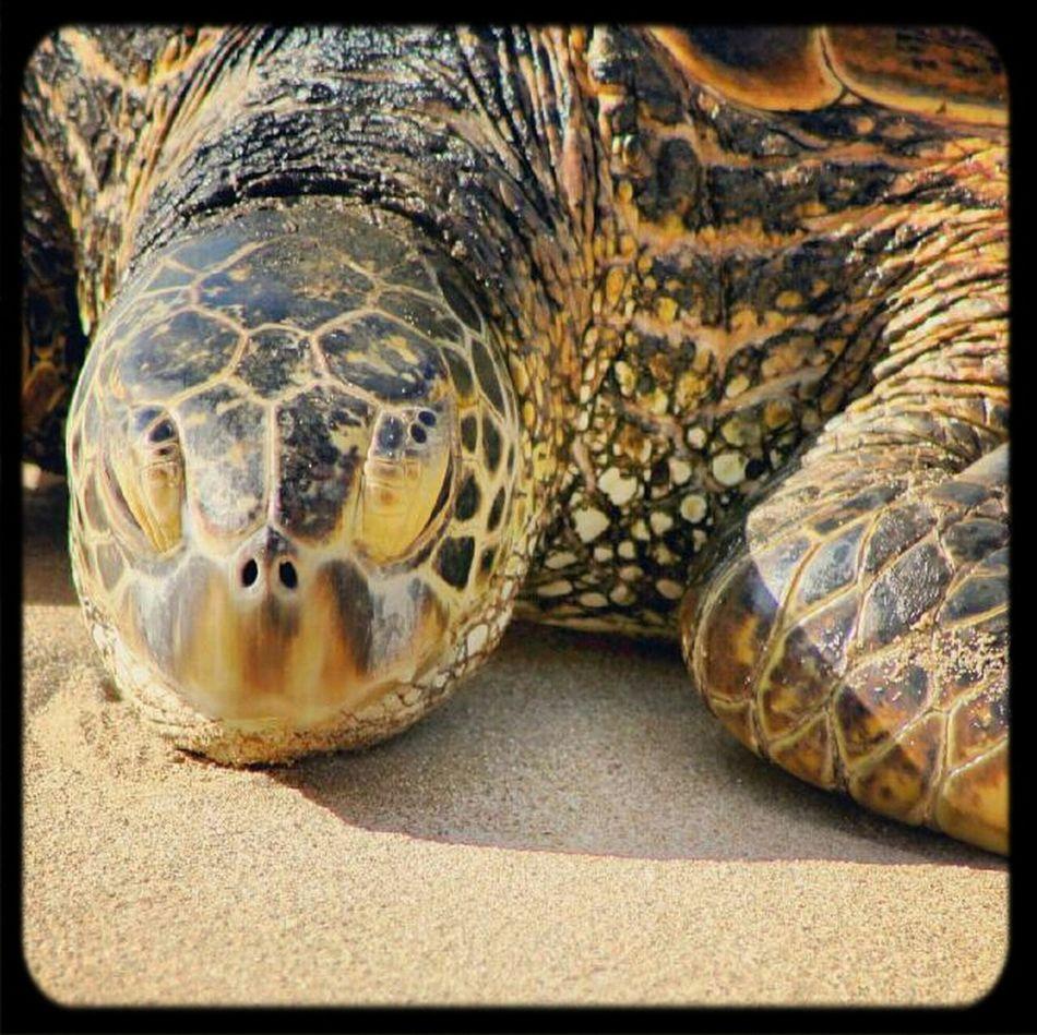 Turtles Sea Turtle Honolulu, Hawaii North Shore Honu